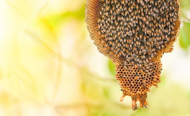 Bienenwabe auf baumnatur und schwarmhonigbiene auf kammbienenstock