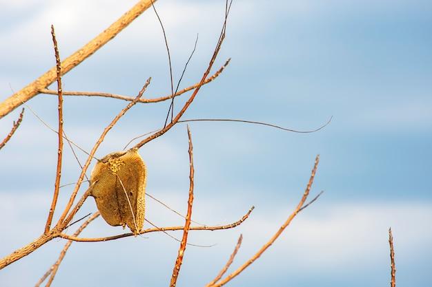 Bienenwabe auf dem trockenen baum und dem himmel.