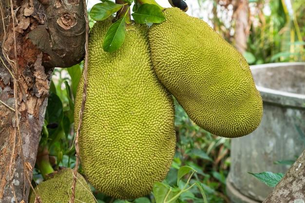 Big green jackfruit am baum. die frucht mit gelbem fruchtfleisch, köstlicher geschmack von thailand.