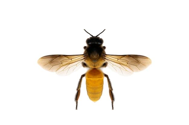 Bild der biene oder der honigbiene lokalisiert auf weißem hintergrund