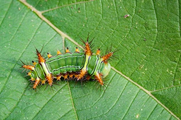 Bild der brennnessel-schnecken-raupe (cup moth, limacodidae)