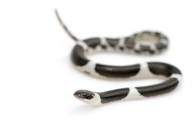 Bild der kleinen schlange (lycodon laoensis), reptil ,. tiere