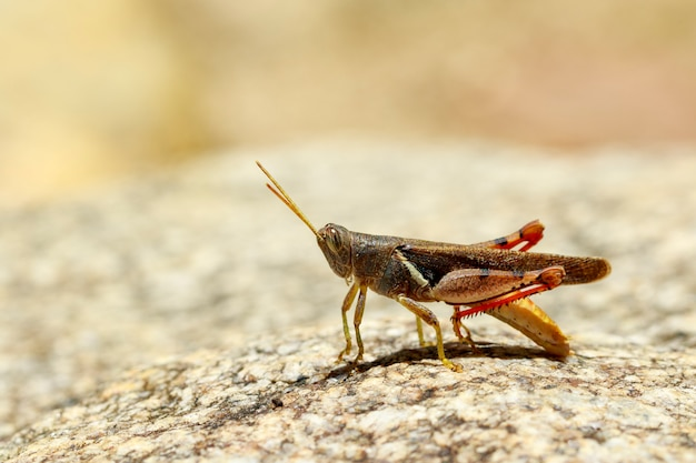 Bild der mit einem weißen band versehenen heuschrecke (stenocatantops splendens) auf dem felsen. insekt. tier.
