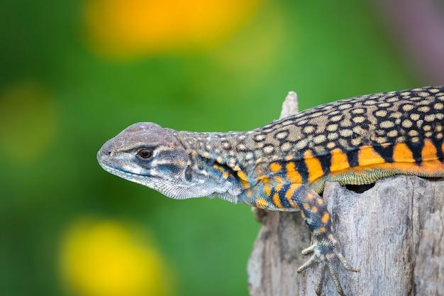 Bild der schmetterlings-agama-eidechse (leiolepis cuvier) auf natur. . reptilien tier