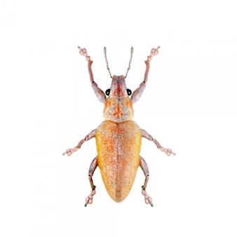 Bild des blattes rüsselkäfer (hypomeces squamosus) essend lokalisiert auf weißem hintergrund