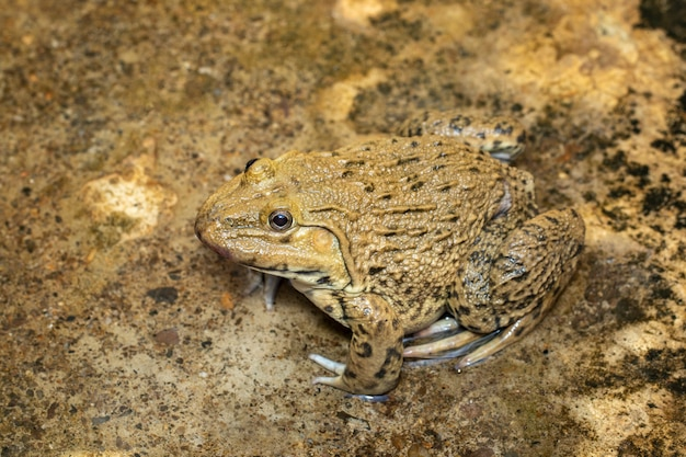 Bild des chinesischen essbaren frosches, ostasiatischer ochsenfrosch, taiwanesischer frosch (hoplobatrachus rugulosus) auf dem boden. amphibie. tier.