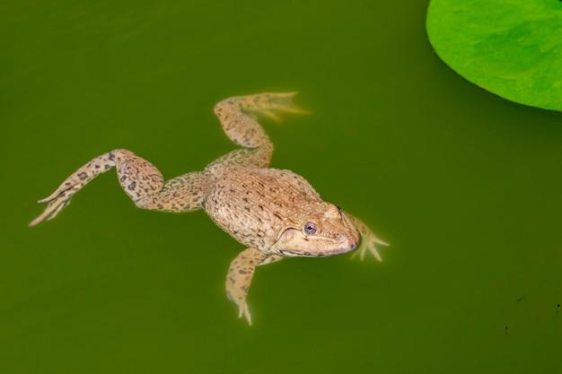 Bild des chinesischen essbaren frosches, ostasiatischer ochsenfrosch, taiwanesischer frosch (hoplobatrachus rugulosus) auf dem wasser. amphibie. tier.