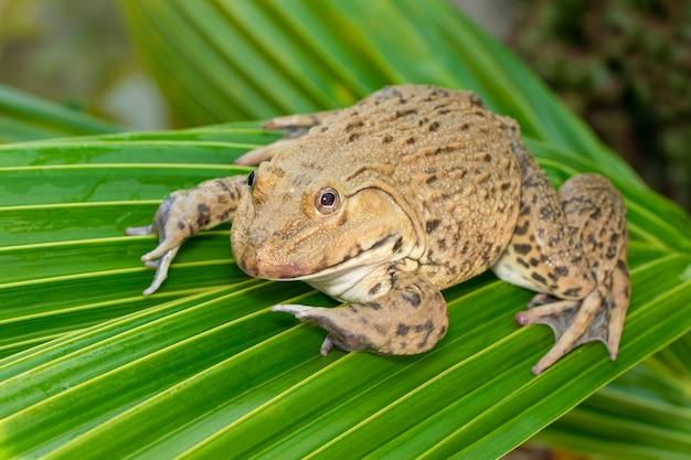Bild des chinesischen essbaren frosches, ostasiatischer ochsenfrosch, taiwanesischer frosch (hoplobatrachus rugulosus) auf den grünen blättern. amphibie. tier.