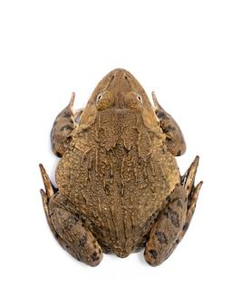 Bild des chinesischen essbaren frosches, ostasiatischer ochsenfrosch, taiwanesischer frosch (hoplobatrachus rugulosus) lokalisiert auf einem weißen hintergrund. amphibie. tier.