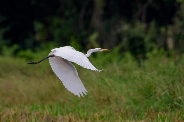 Bild des flugwesens des großen reihers (ardea alba). reiher, weiße vögel, tier.