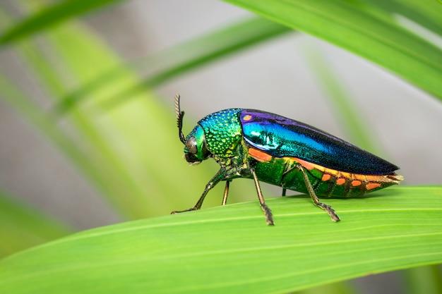 Bild des grünbeinigen metallischen käfers oder des juwelkäfers oder des metallischen holzbohrungskäfers auf den grünen blättern