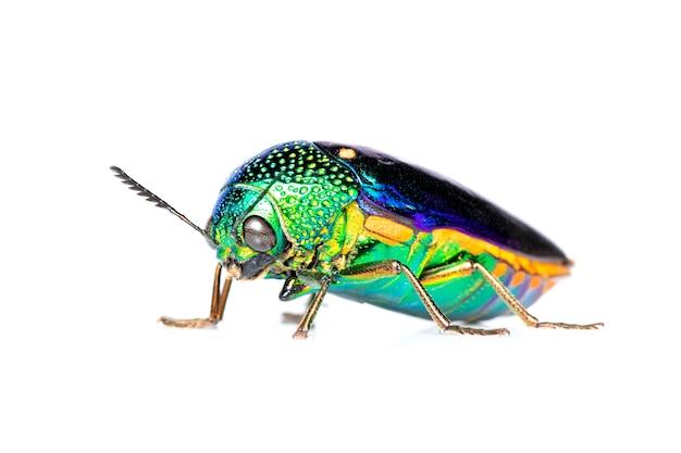 Bild des grünbeinigen metallischen käfers oder des juwelkäfers oder des metallischen holzbohrungskäfers auf weiß