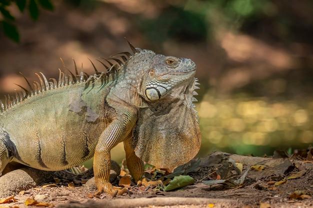Bild des grünen leguanmorphs auf einem natürlichen hintergrund. tier. reptilien