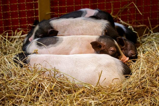 Bild des kleinen schweins schläft. nutztiere.