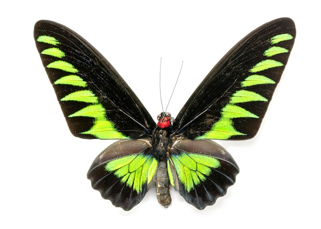 Bild des rajah brookiana schmetterlings (trogonoptera brookiana) (männlich). insekt. tier