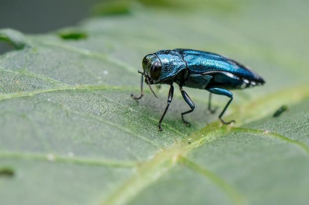 Bild des smaragdgrünen aschenbohrkäfers auf einem grünen blatt. insekt. tier