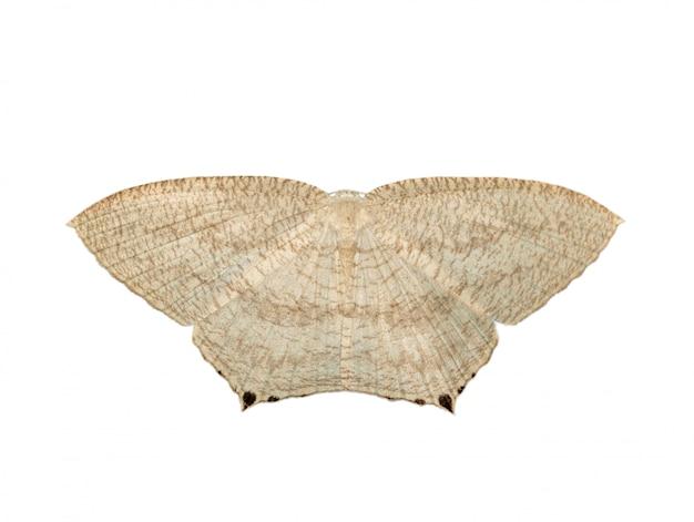 Bild des spitzen flatwingsschmetterlinges (micronia aculeata) lokalisiert auf weißem hintergrund