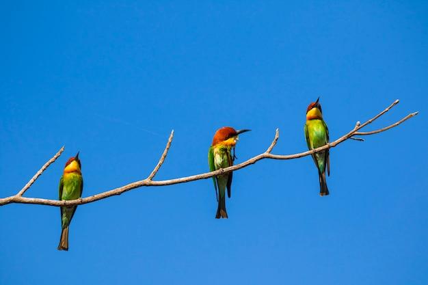 Bild des vogels auf der niederlassung. wilde tiere. bienenfresser mit kastanienkopf (merops leschenaulti)