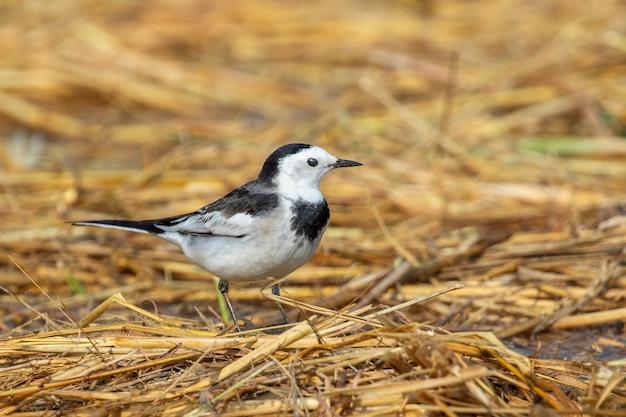 Bild des vogels der weißen bachstelze (motacilla alba). vögel. tier.