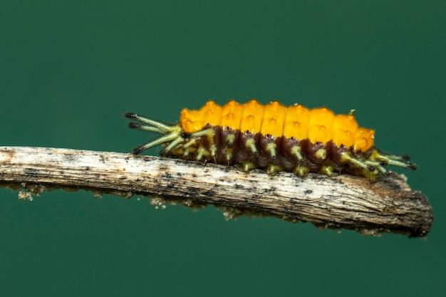 Bild einer bernsteinfarbenen raupe auf braunem ast. insekt. tier