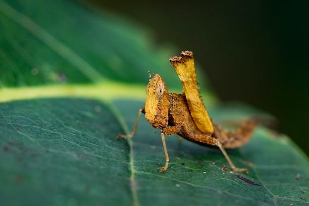 Bild einer braunen affenheuschrecke (arthropoda: insecta: orthoptera: chorotypidae: erianthus versicolor) auf grünen blättern. insekt tier