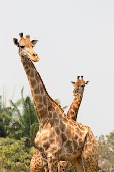 Bild einer giraffe auf natur. wilde tiere.