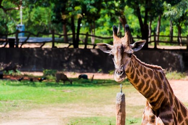 Bild einer giraffe, die in die kamera schaut und den hintergrund verwischt.