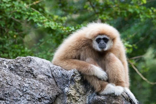 Bild eines gibbon, der auf felsen sitzt