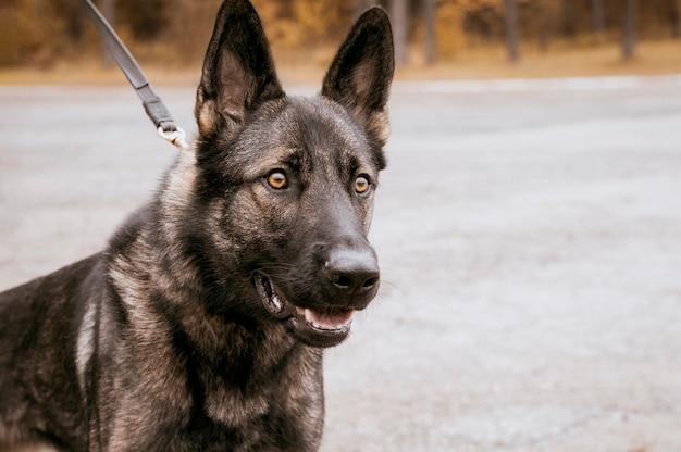 Bild eines polizeihundes, der auf einen befehl eines beamten wartet. das konzept der militärischen konflikte. suche nach sprengkörpern, schmugglern. gemischte medien