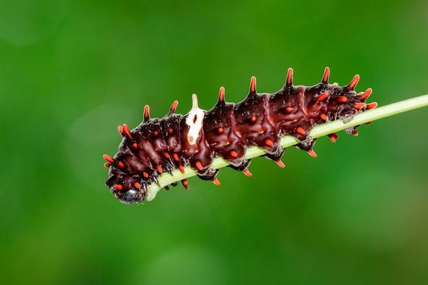 Bild eines raupenkäfers auf natur. insektentier