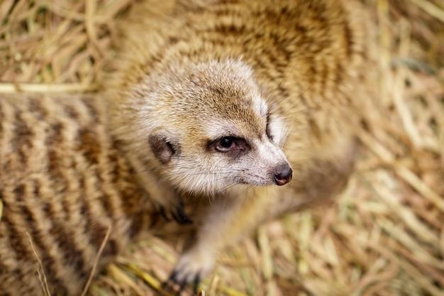 Bild von erdmännchen (suricata suricatta) auf natur. wilde tiere.