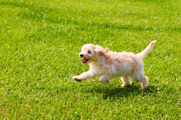 Bild von golden retriever, der durch gras läuft