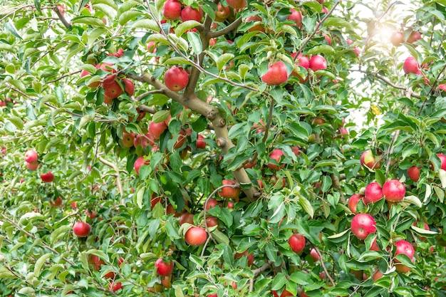 Bild von reifen äpfeln im obstgarten, die zur ernte bereit sind