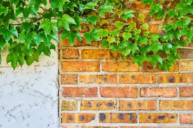 Bild von rotem backstein und gipswand aus nächster nähe mit grünem efeu