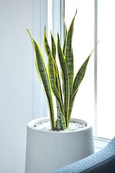 Bild von snake plant, einem baum, der das haus schmückt