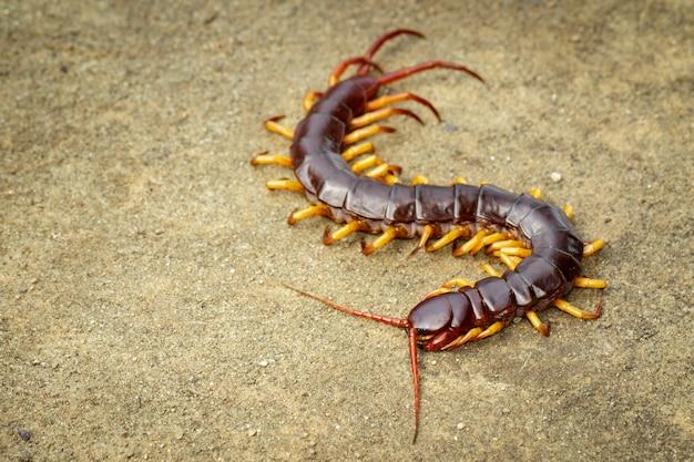 Bild von tausendfüßlern oder von chilopoda aus den grund. tier. giftige tiere.