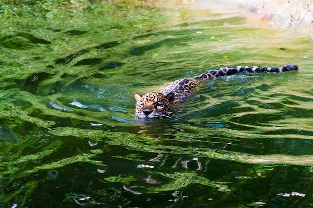 Bilder von leoparden, die im wasser schwimmen.