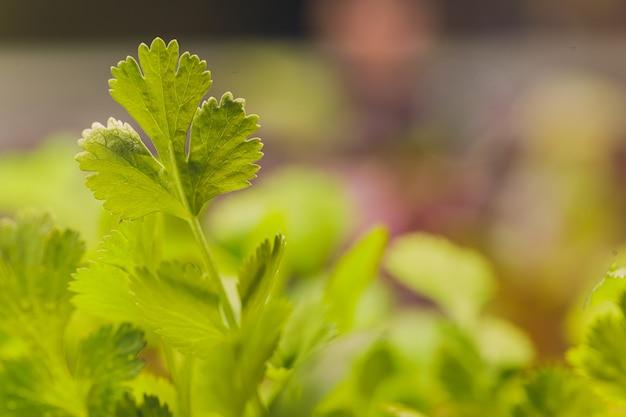 Bio cilantro microgreen bereit zur ernte.