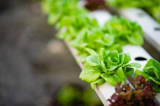 Bio-gemüsesalatgarten