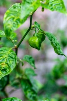 Bio grüne chilischote am baum hautnah