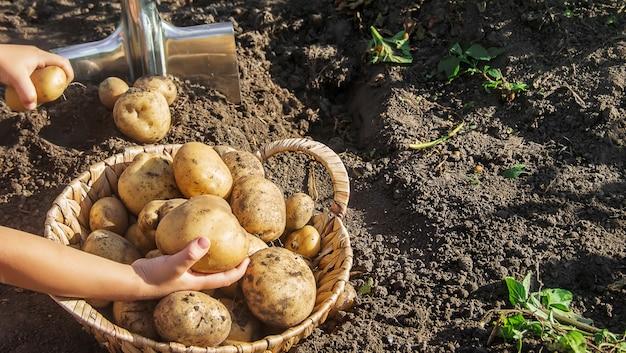 Bio hausgemachte gemüse kartoffeln ernten. tiefenschärfe.