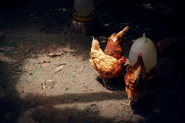 Bio-hühner oder -hühner essen lebensmittel und vitaminwasser auf dem bauernhof