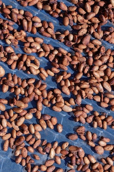 Bio-kakaobohnen, die sonne auf einem bauernhof trocknen