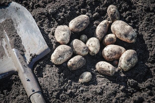 Bio-kartoffeln und schaufel auf dem boden, ansicht von oben