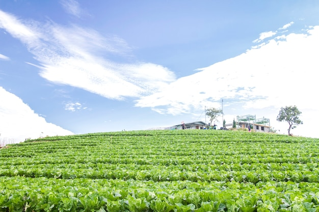 Bio-kohlanbau von frischem grün in gemüsefarm, nordthailand