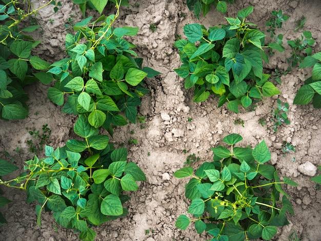Bio-landwirtschaft mit jungen bohnenpflanzen