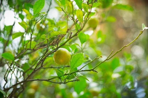 Bio-limetten oder zitronenbäume im feld so frische wassertropfen in limette mit warmem licht nach dem regen