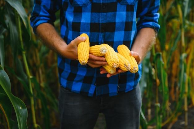 Bio-mais auf einem kleinen bio-bauernhof, der bei sonnenuntergang geerntet wird. große blende. männerhände halten mais. konzept der gemüseernte.