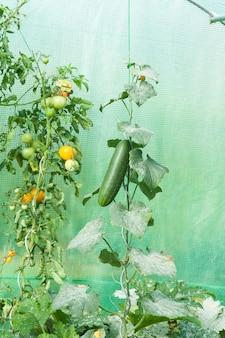 Bio-tomaten in einem gewächshaus