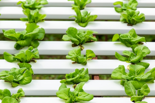 Biohof mit landwirtschaftsgemüsewasserkultur. bio-gemüse ist business-landwirtschaft wächst